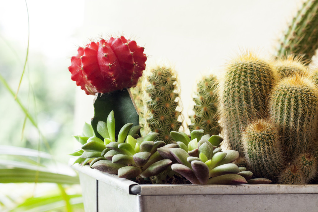 How to Grow Cactus Indoor or Outdoor Gardening