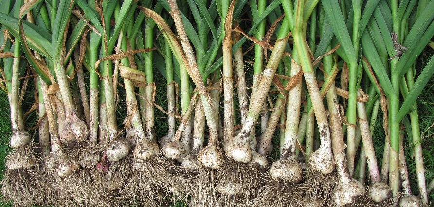 Growing, Planting and Harvesting Best Garlic