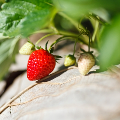 How to Grow Best Strawberries in Your Garden