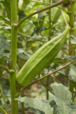 How to Grow Okra : Planting Guide