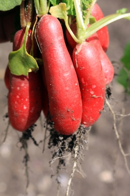 Tips to Grow Radishes Organically