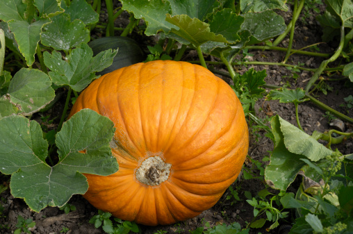 Best Way of Growing Pumpkins
