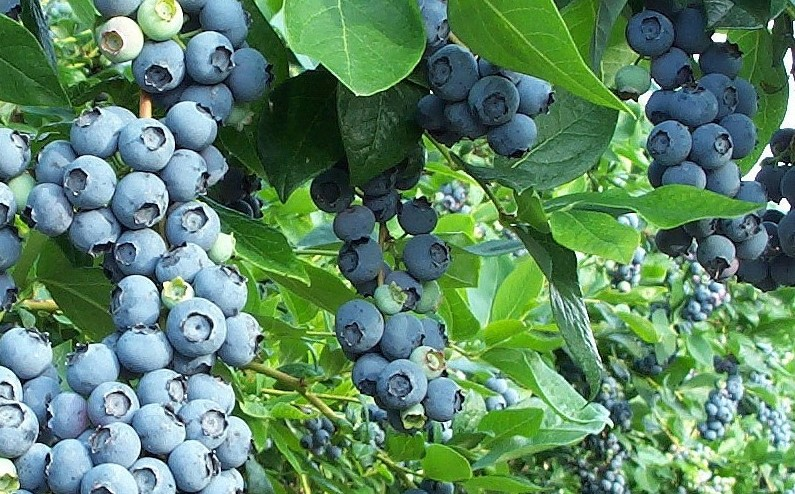 What Kind of Fertilizer for Blueberries?