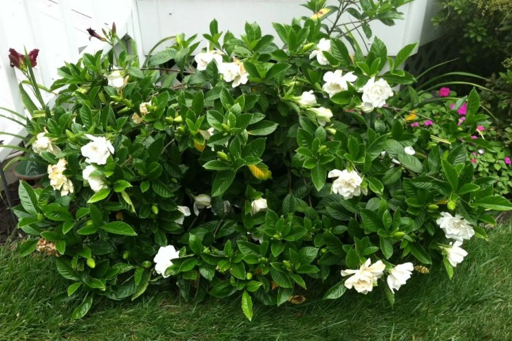 What Kind of Fertilizer for Gardenias?