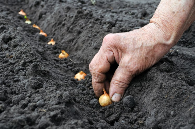 Growing Onions from Bulbs